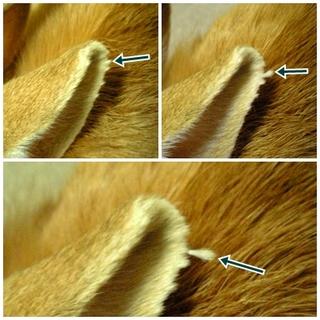 耳毛束2.jpg